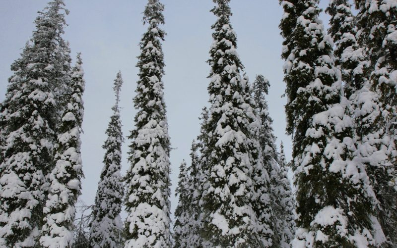 FINLAND: STRIVING FOR BETTER RECOVERY, TORNATOR MADE A FORECAST OF SNOW DAMAGE IN FORESTS